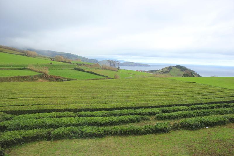 Açores Gorreana